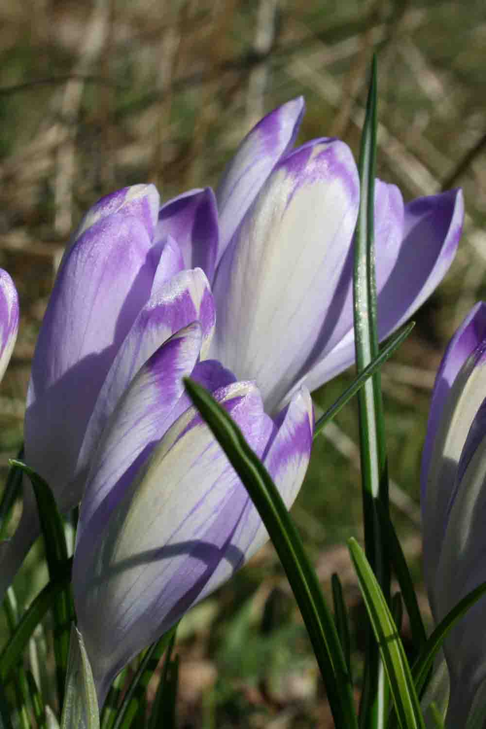 Crocus heuffelianus ' Shockwave '