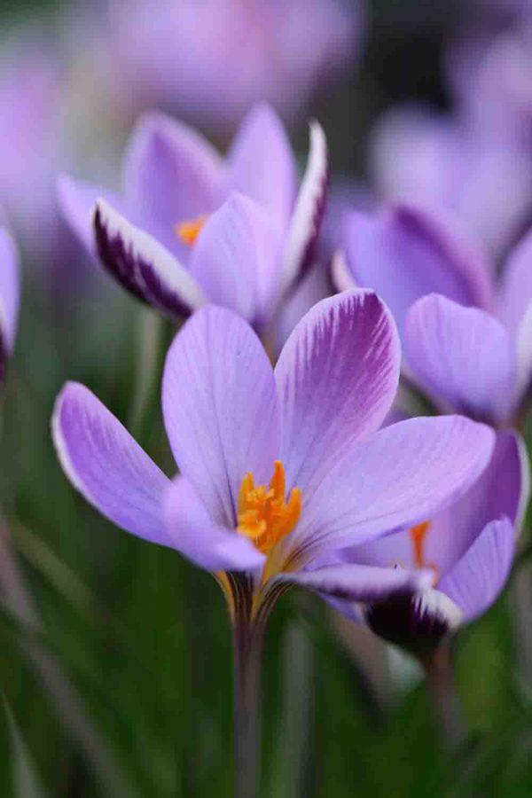 Crocus minimus ' Spring Beauty '