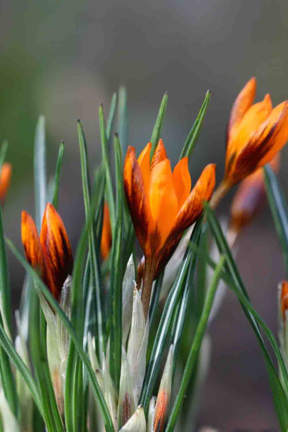 Crocus olivieri ssp. balansae ' Orange Monarch '