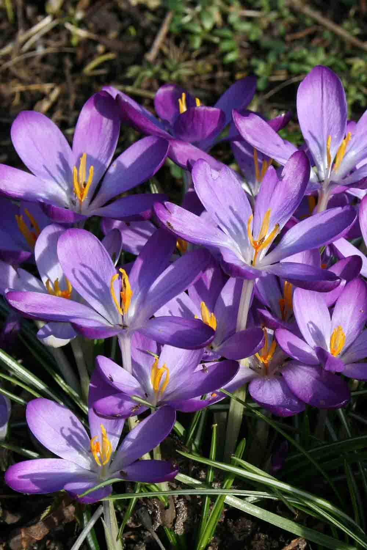 Crocus tommasinianus ' Whitewell Purple '