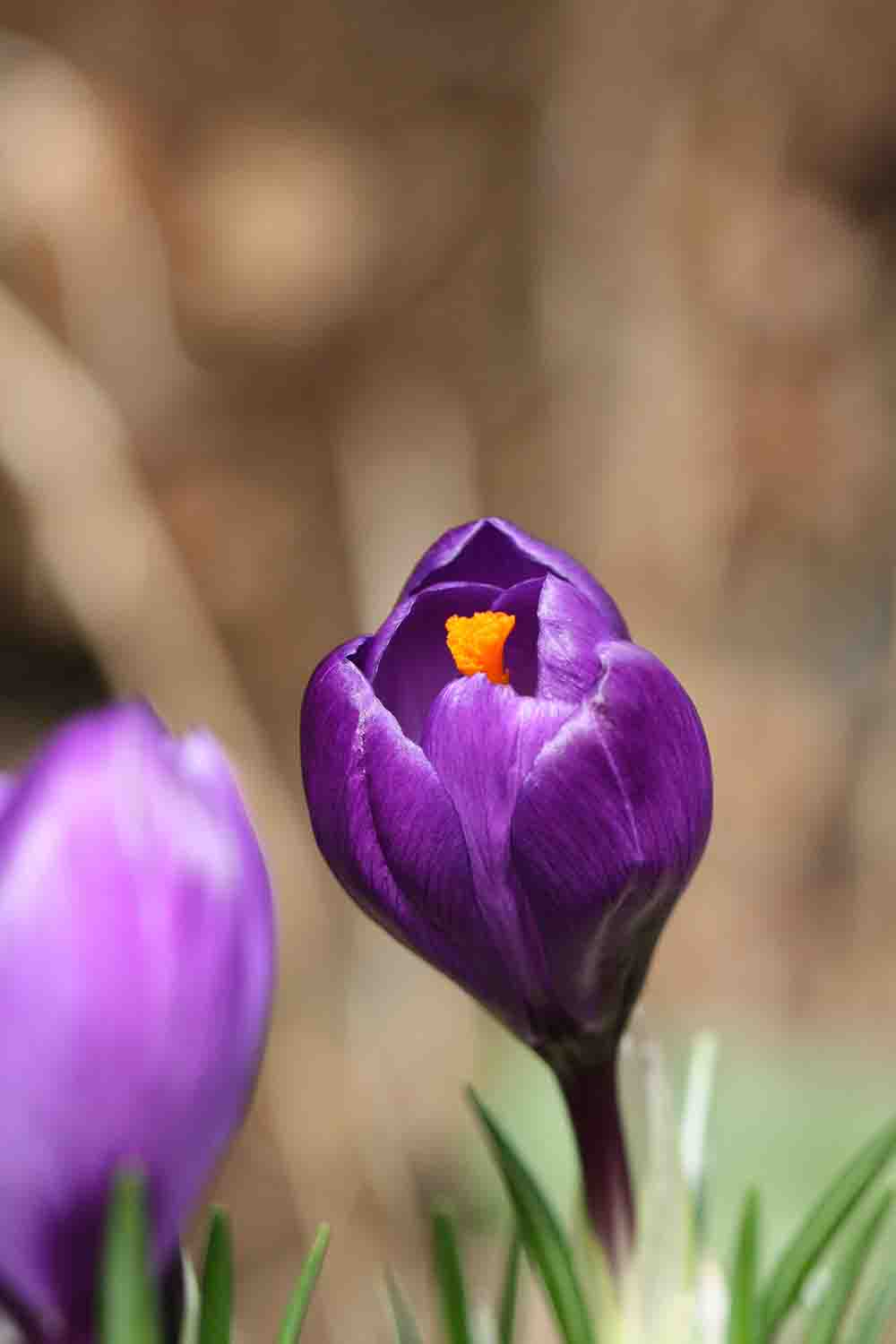 Crocus vernus ' Flower Record '