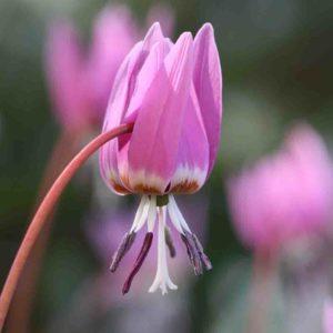 Erythronium dens canis ' Frans Hals '
