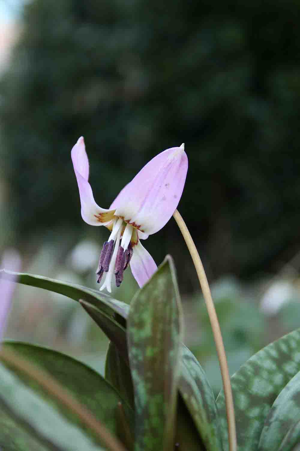 Erythronium dens canis ' Pink Perfection '