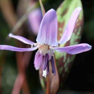 Erythronium dens canis ' Purple King '