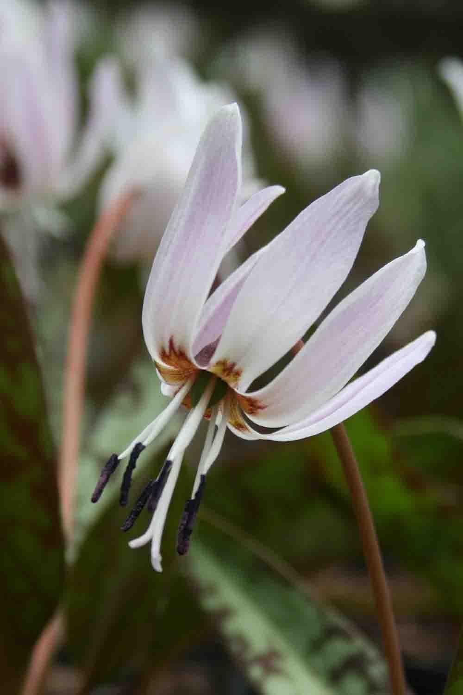 Erythronium dens canis ' Rose Queen '