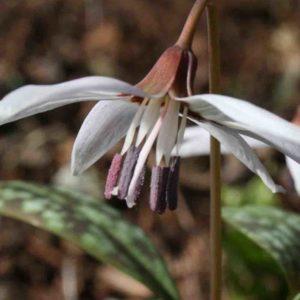 Erythronium dens canis ' Snowflake '
