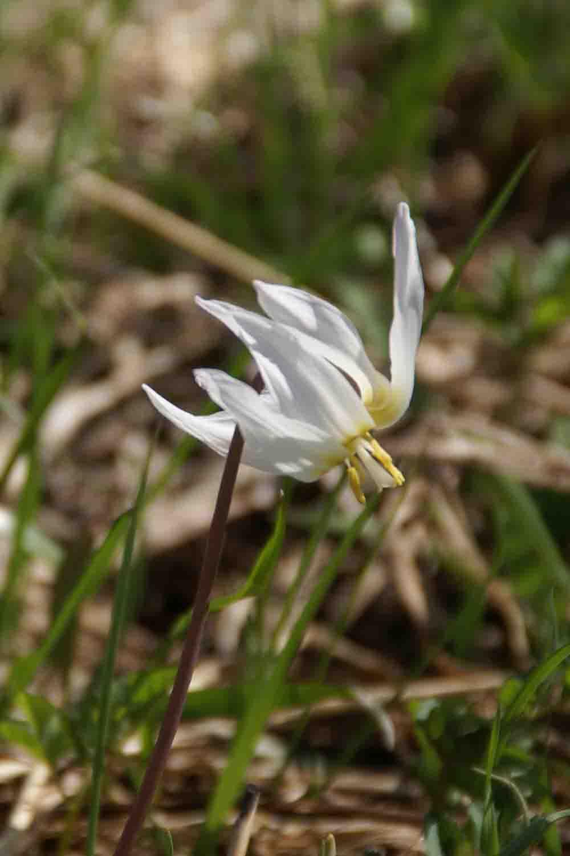 Erythronium sibiricum ssp. altaicum