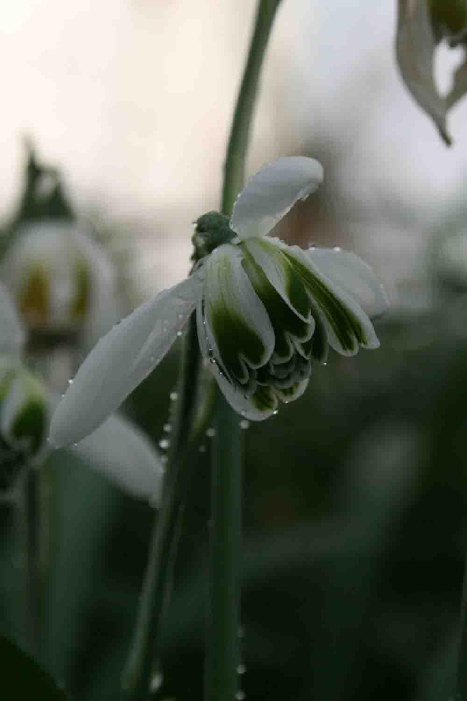 Galanthus ' Cordelia '