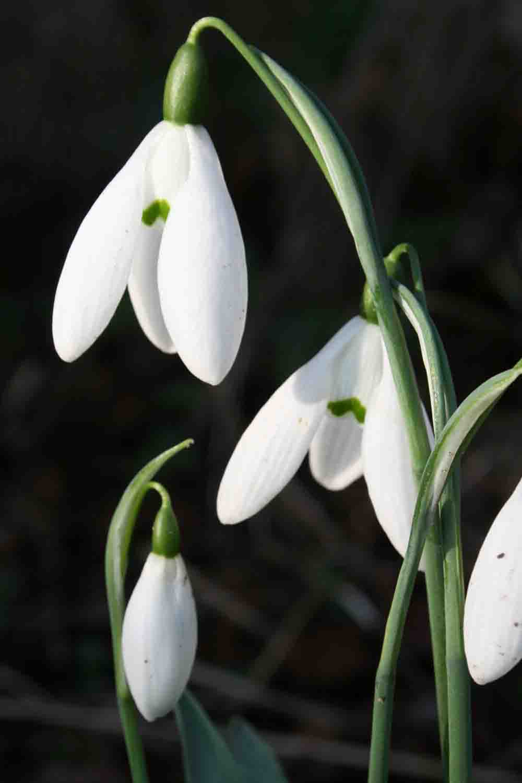 Galanthus elwesii ' Mrs. MacNamara '