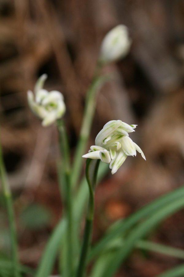 Galanthus nivalis ' Irish Green '