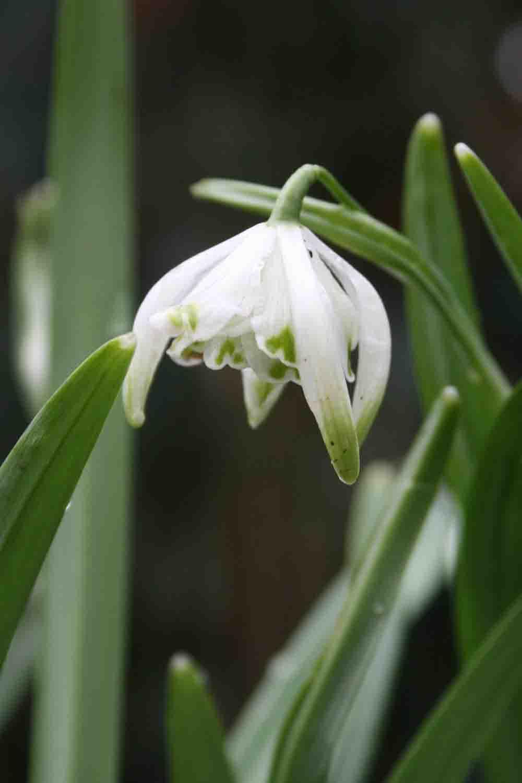 Galanthus nivalis ' Pusey Green Tips '