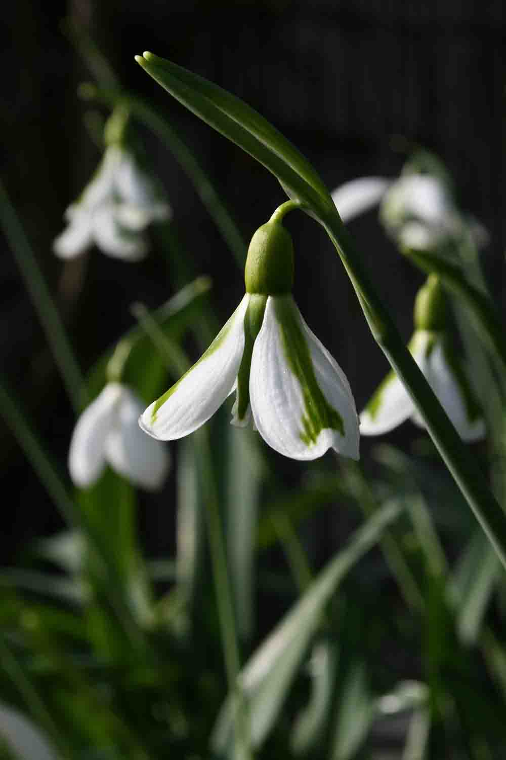 Galanthus ' South Hayes '