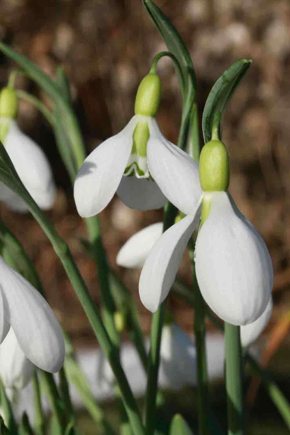 Galanthus ' Sutton Courtenay '