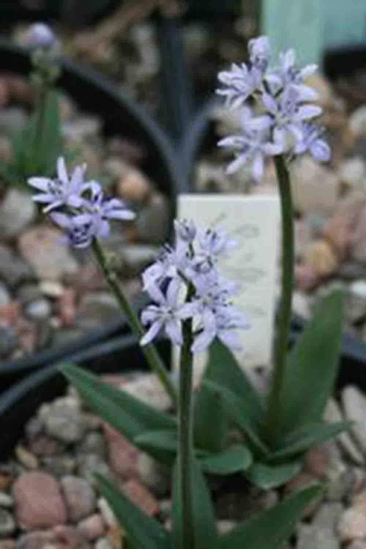 Hyacinthoides lingulata