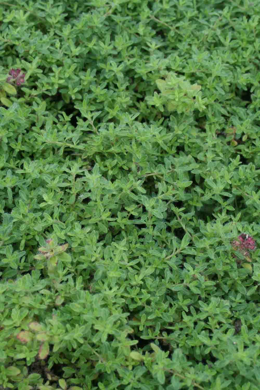 Thymus ' Caborn Rosanne '