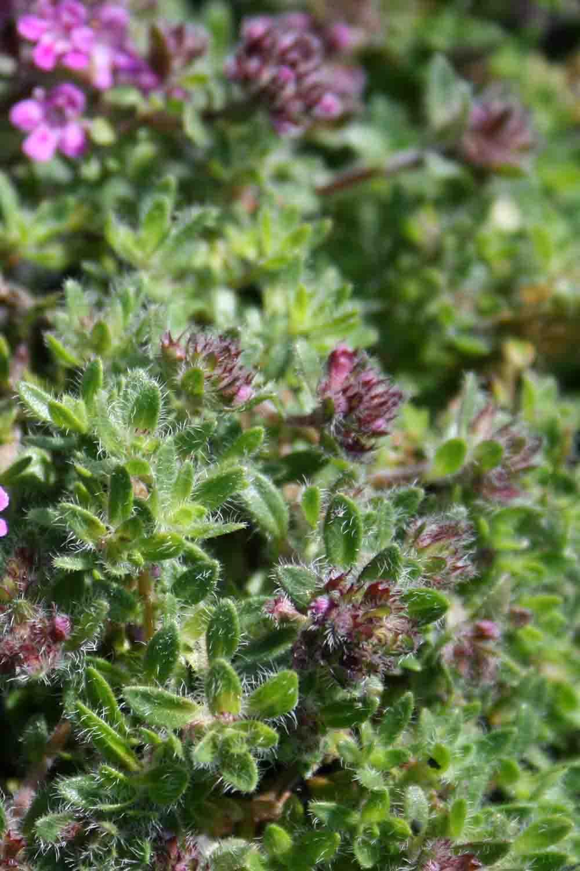 Thymus doerfleri ' Bressingham '