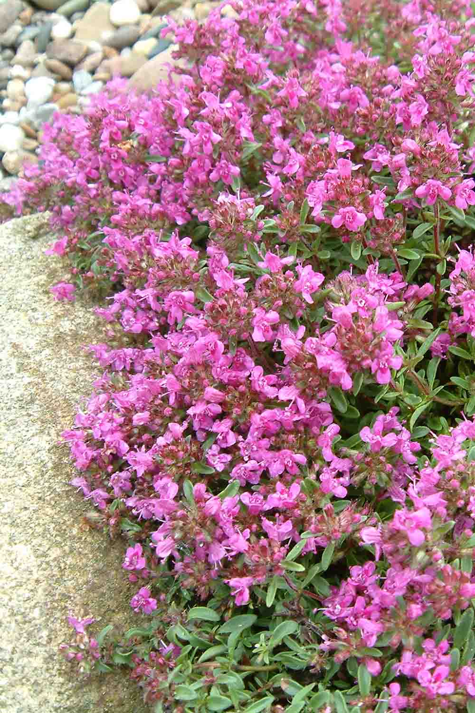 Thymus praecox ' Purpurteppich '