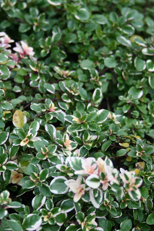 Thymus pulegioides ' Foxley ' (v)