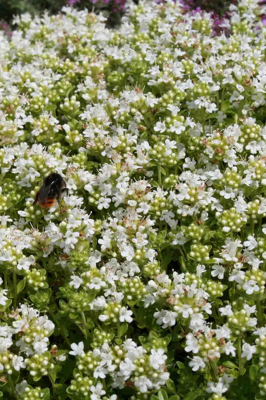 Thymus serpyllum ' Albus '