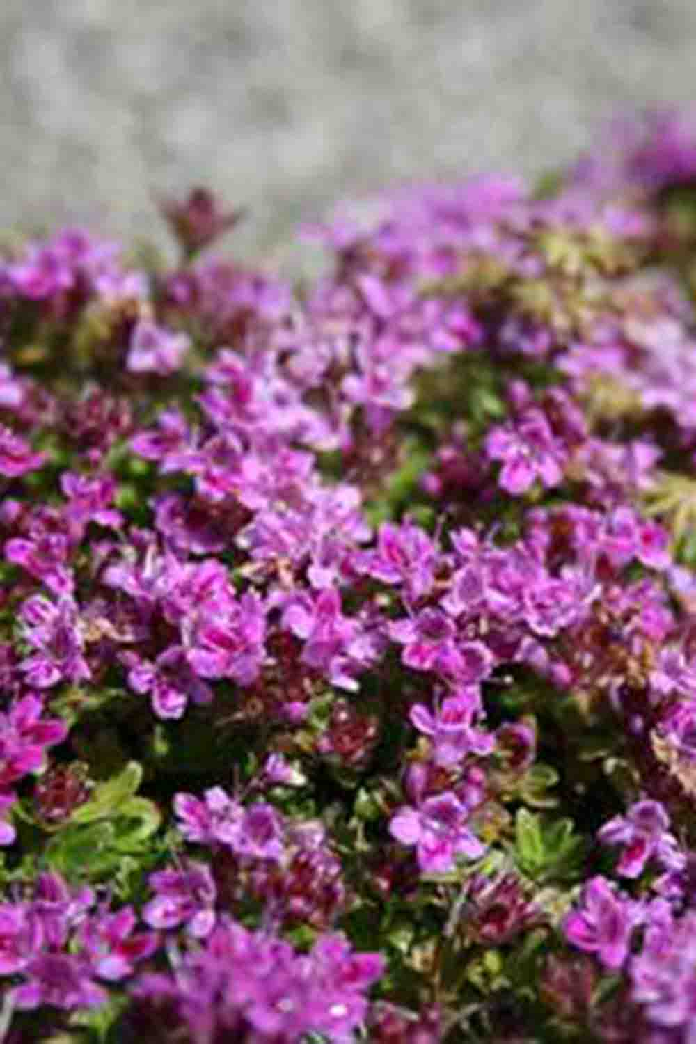 Thymus serpyllum ' Magic Carpet '