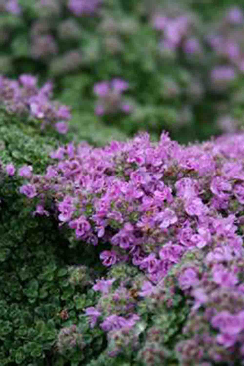 Thymus serpyllum ' Minor '