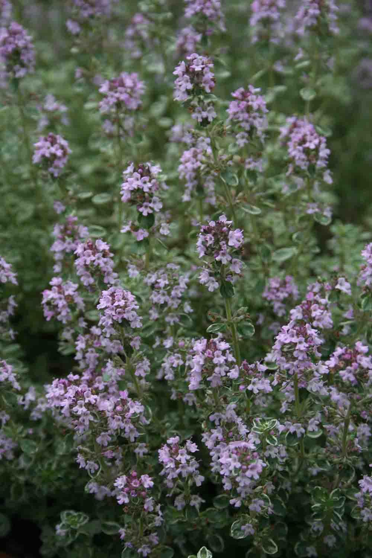 Thymus vulgaris ' Silver King '