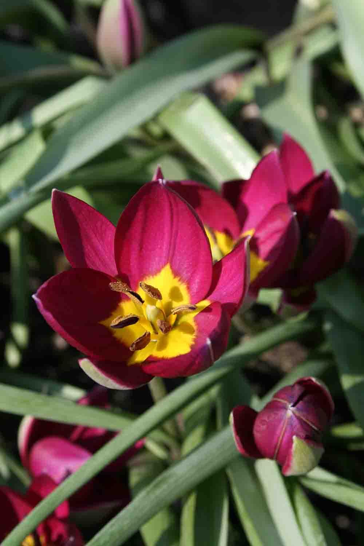 Tulipa humilis ' Persian Pearl '
