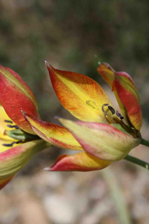 Tulipa orphanidea ' Flava '