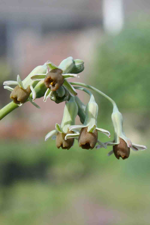 Tulbaghia alliaceae