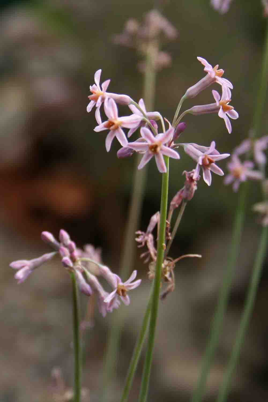 Tulbaghia leucantha D