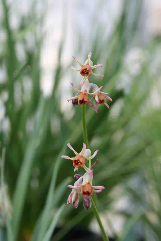 Tulbaghia leucantha H & B 11996