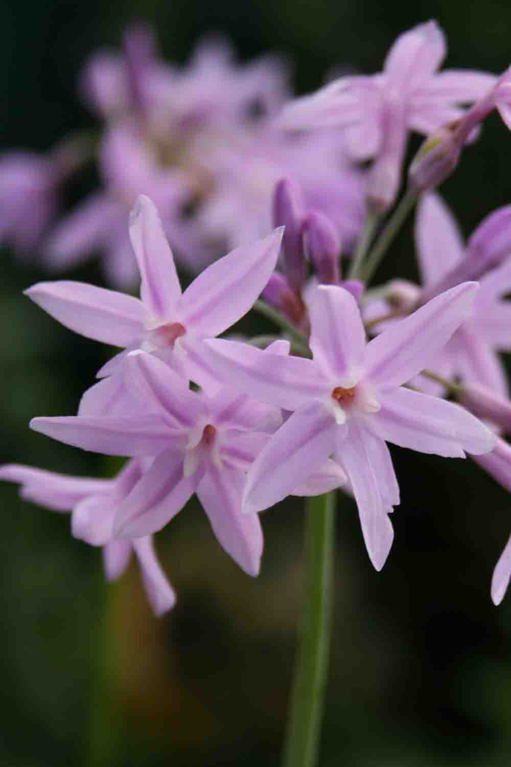 Tulbaghia violacea ' John May's Special '