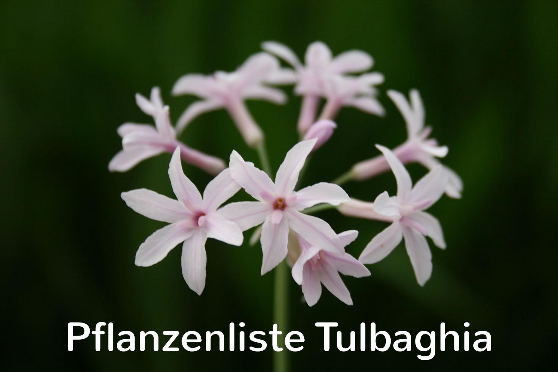 Pflanzenliste Tulbaghia