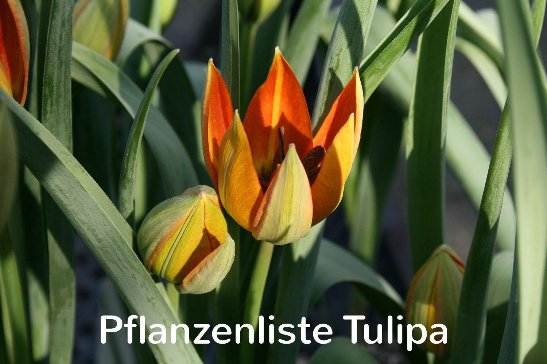 Pflanzenliste Tulipa