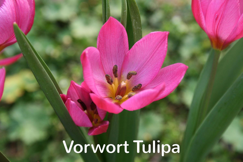 Vorwort Tulipa