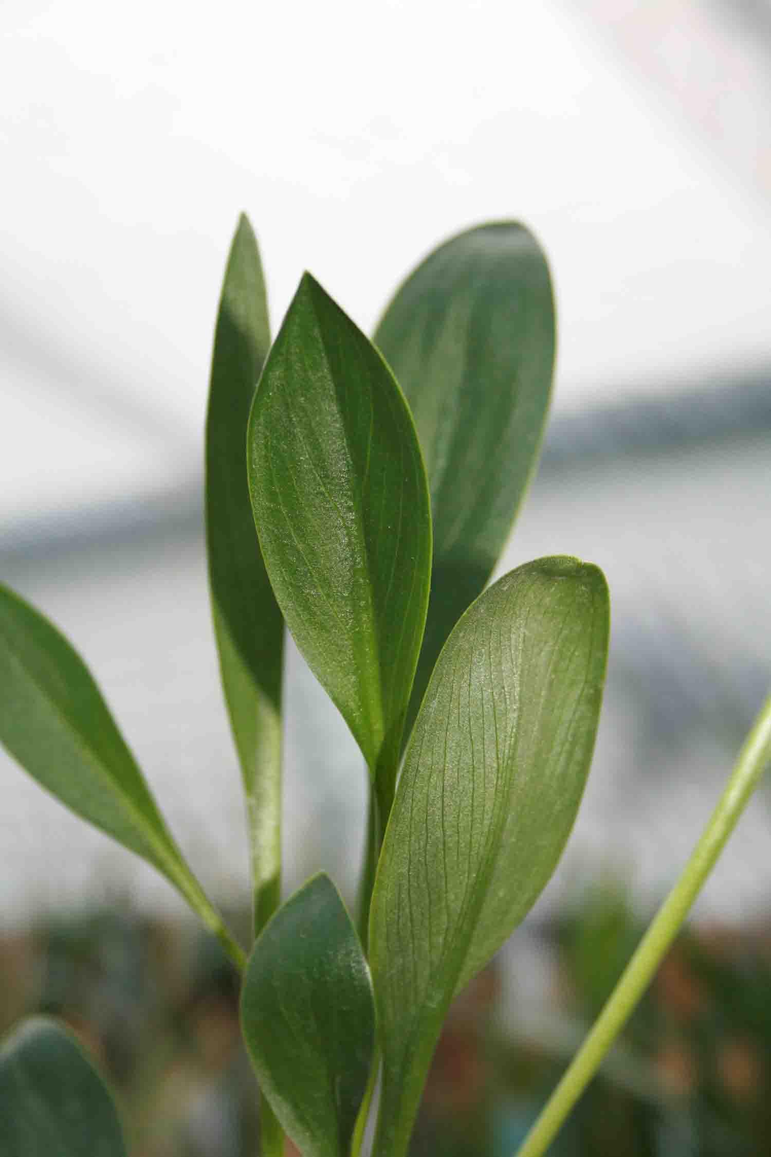 Biarum carratracense