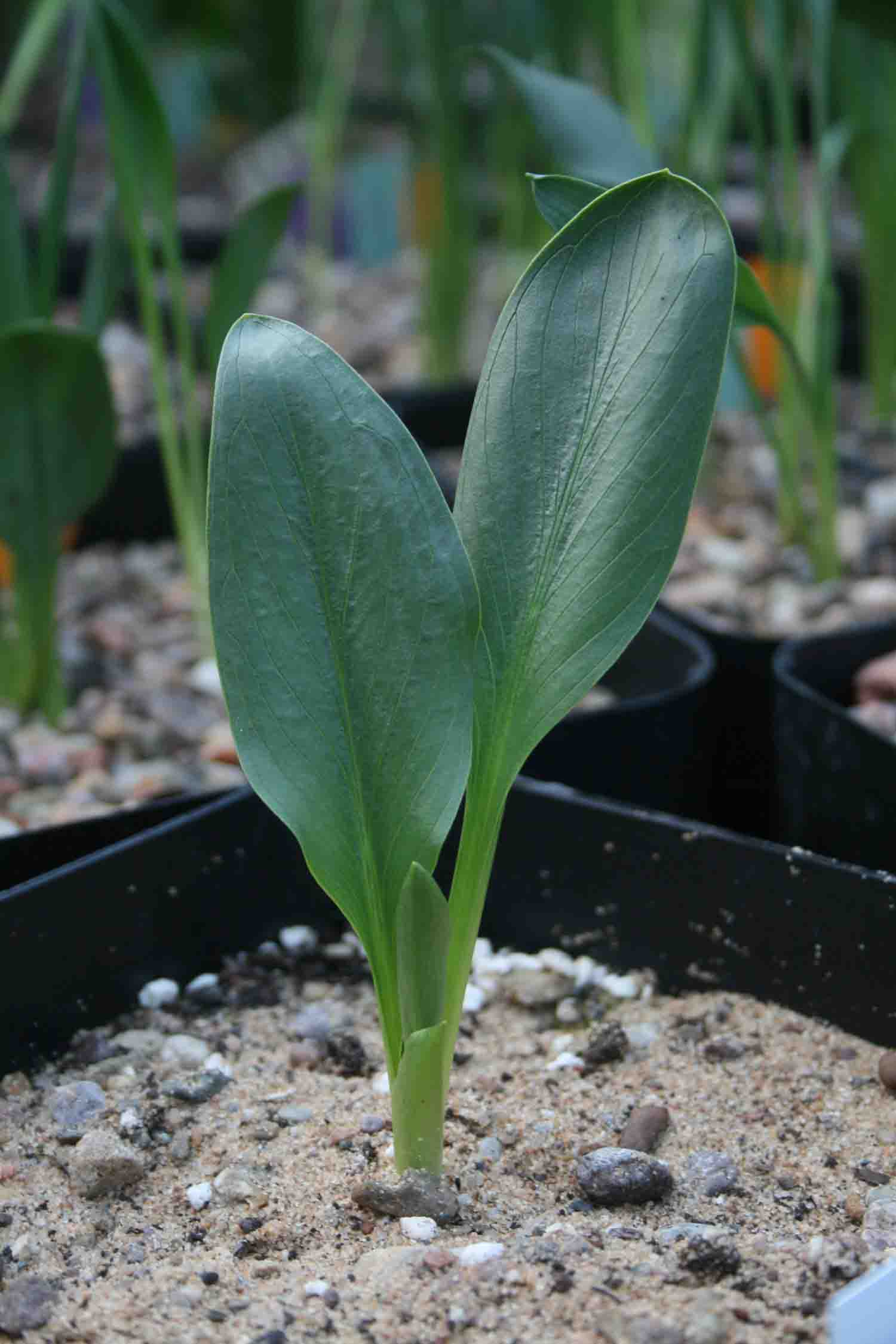 Biarum karduchorum