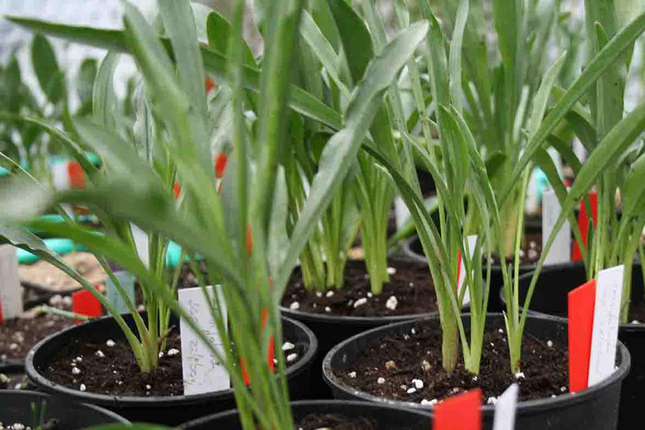 Biarum tenuifolium in der Wachstumsphase