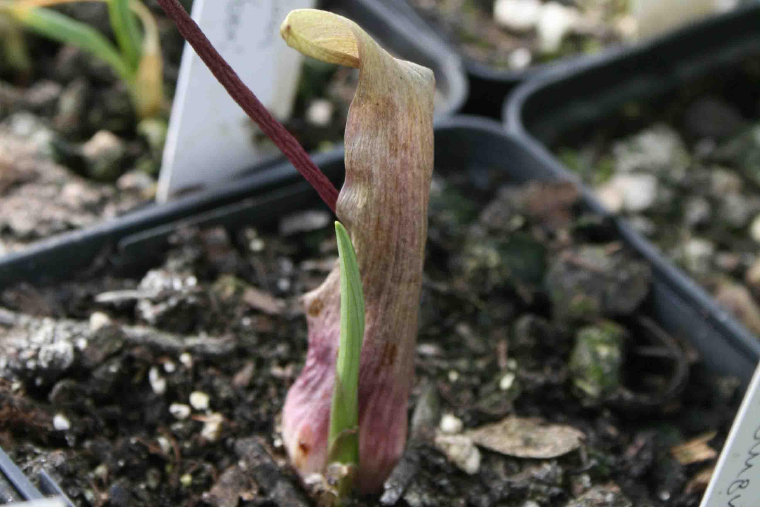 Biarum tenuifolium ssp. idomenaeum