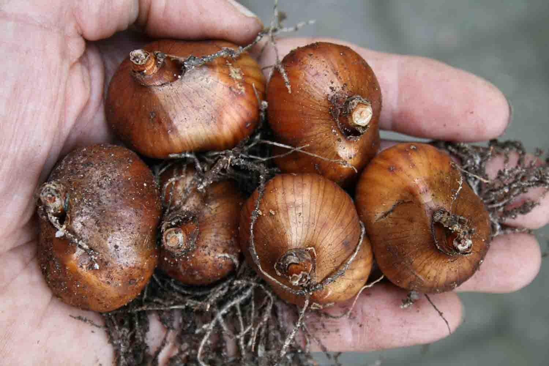 Galanthus plicatus ' Diggory '
