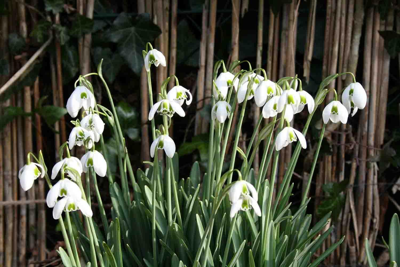Hier entfaltet es seine Schönheit in einer großen Gruppe in der sanften Frühlingssonne.