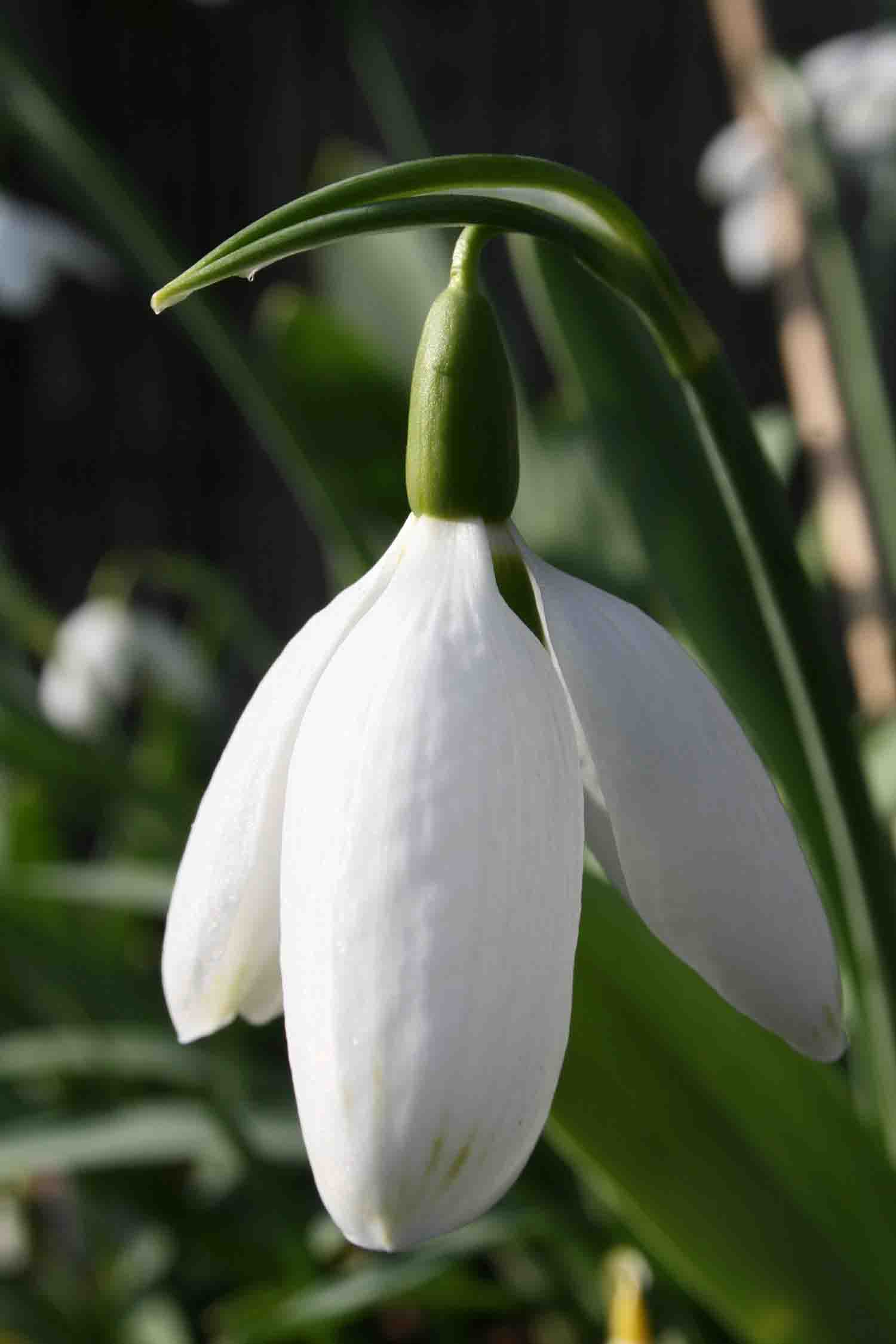 Galanthus elwesii ' Big Boy '