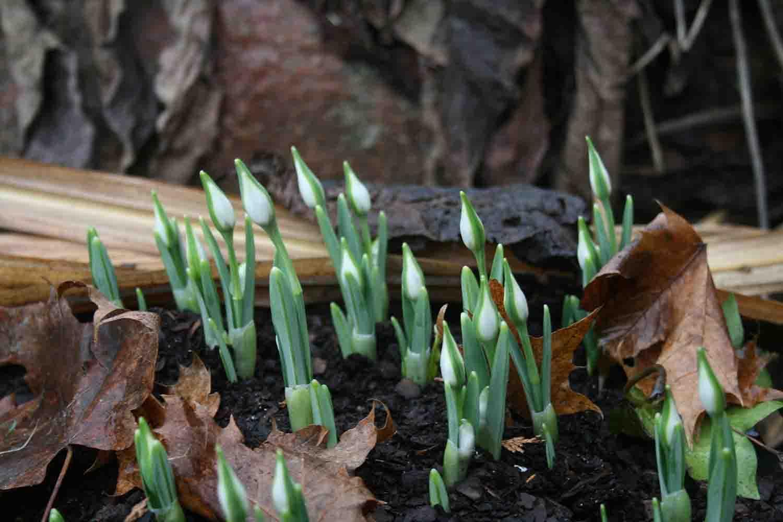 Der kraftvolle Austrieb von Galanthus ' Jaquenetta ' mit anschwellenden Knospen. Ein tolles gefülltes Schneeglöckchen mit einer zarten Zeichnung auf den äußeren Blütenblättern. Wir haben es der jahrelangen Arbeit des englischen Züchters Greatorex zu verdanken.