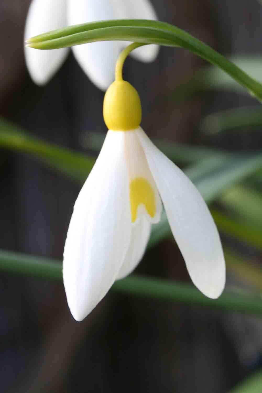 Galanthus plicatus ' Madelaine '