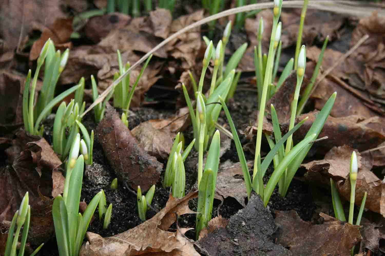 Ein weiteres gut wüchsiges gelbes Schneeglöckchen ist Galanthus ' Primrose Warburg ', hier in einer lockeren Gruppe, bei der die Zwiebeln ungefähr 5 cm auseinandergepflanzt wurden, um der einzelen Pflanze Raum für die Entwicklung zu bieten. Häufig erleben wir hier in der Gärtnerei, daß gelbe Schneeglöckchen nach dem Pflanzen oder Umpflanzen im Folgejahr grün oder gelblich grün blühen. Doch je länger es am gleichen Standort steht, desto intensiver wird die Färbung.
