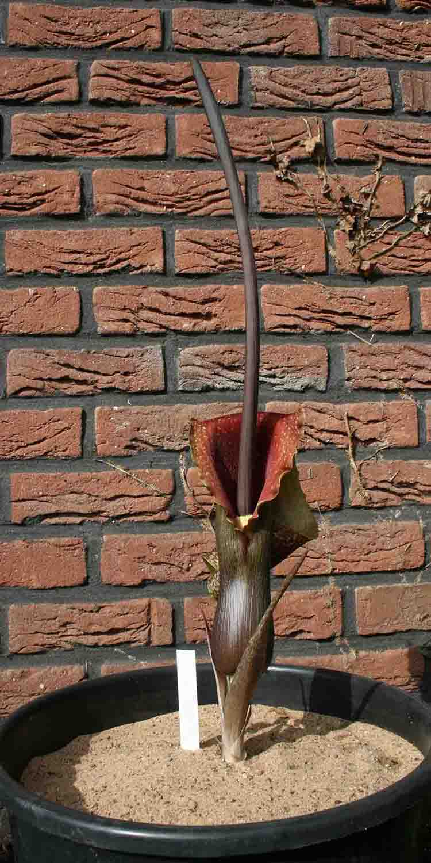 Typhonium venosum ' Indian Giant '