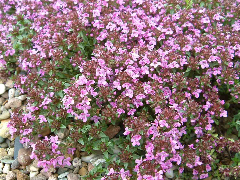 rosa violett