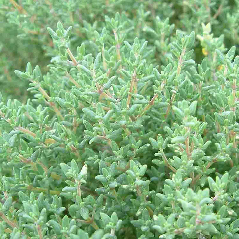 Eingerollte graugrüne Nadeln bei Thymus vulgaris