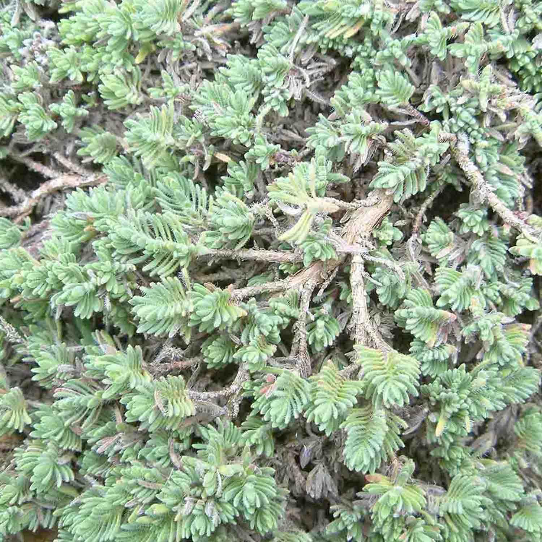 Nadeliges graues Laub von Thymus zygioides