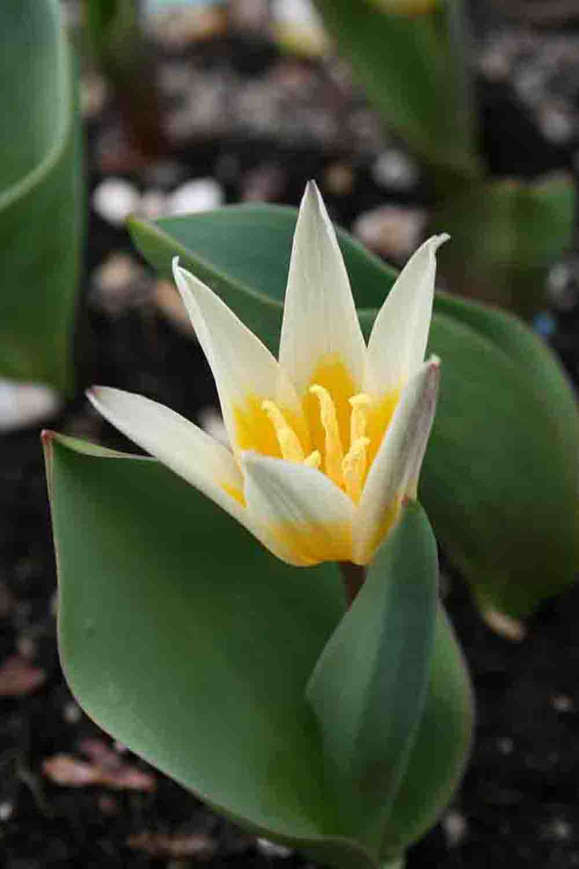 Tulipa berkariense